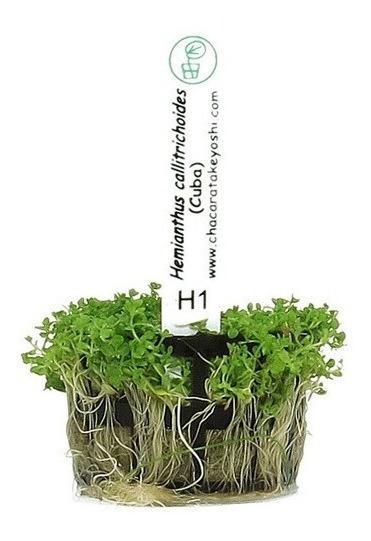 Planta Aquario Natural Hemianthus Callitrichoides (cuba)