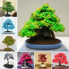 100 Sementes Mix Acer Maple Planta Pra Bonsai Gramas Jardins