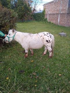 Caballo Pony