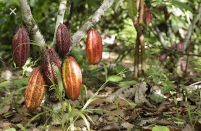Vendo Terreno De Cacao