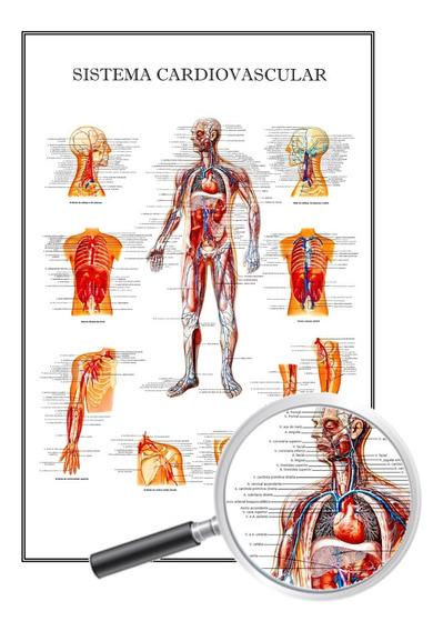 Poster Anatomia Enfermagem, Sistema Circulatório 40x60 Cm