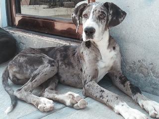 Cachorra Gran Danés Merle Sangre De Campeones