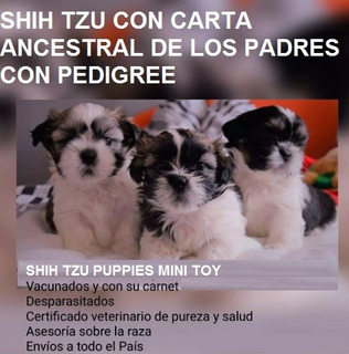Shihtzu Mini Toy Puppies Girls And Boys Tu Mejor Opcion