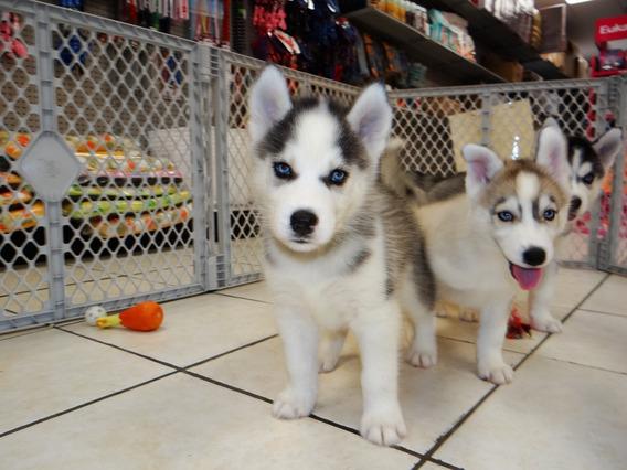 Adopción De Cachorros De Husky Siberiano