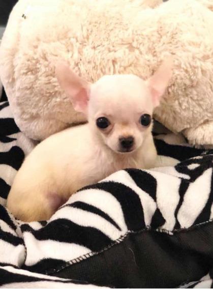 Chihuahua Macho Blanco