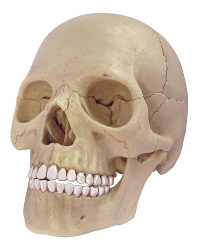 4d Vision Human Anatomy Modelo Craneo Humano 17pcs 26086