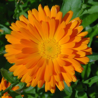 Calêndula Officinalis 40 Sementes Flor Medicinal Para Mudas