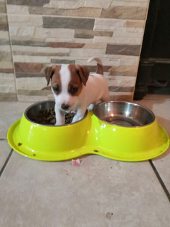 Jack Russell Terrier Cachorros ( Preventa)