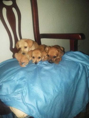 Perros Chihuahua Con Yorshire8094134118