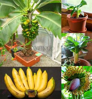 Semillas De Plátano Enano Bonsais 50 Semillas