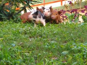 Filhote Mini Pig Macho - Excelente Linhagem