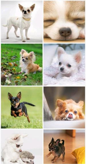 Perros Chihuahuas