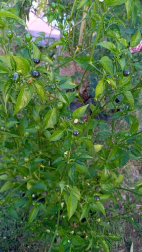 Imagen 1 de 2 de Chiltepín - Capsicum Annuum 1 Planta De 60 Cm
