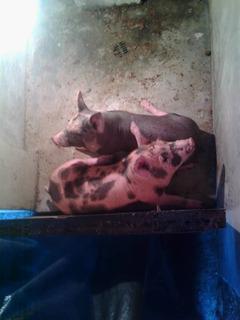 Lechones Cerdos Cochinos Marranos No Pdf