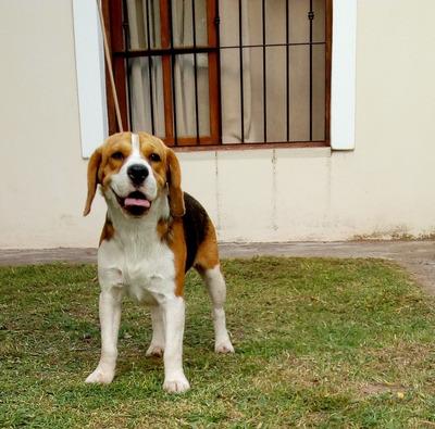 Beagle En Servicio De Stud
