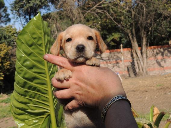 Cachorros Labradores Hembras Queda Una Sola