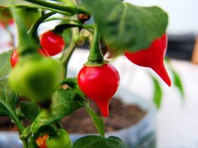 Semente 40 Pimenta Biquinho + 40 Sementes De Tomate Cereja