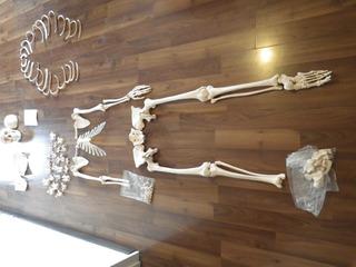 Esqueleto Humano Modelo De Polímero A Escala Real