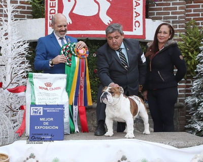 Semental Bulldog Inglés Multi-campeón (atouk Rubio)