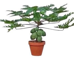 100 Sementes Mamão Anão Do Amazonas Papaya # Frete Gratis