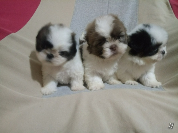 Hermosas Cachorros Shitzu