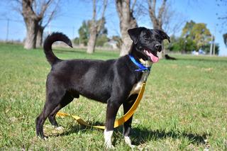 Perro Macho Joven Pequeño Adopción Gratis Mascota (patricio)