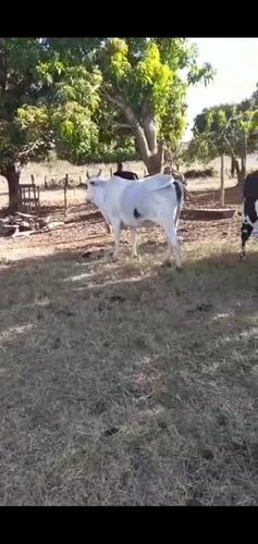 Imagem 1 de 5 de Vendo Vacas Nelore ,(aceito Trocas ) Caminhonete Ou Algo Do