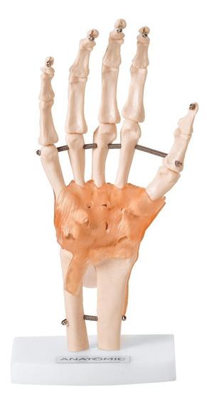 Articulação Mão C/ Ligamentos - Anatomia - Tamanho Natural