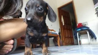 Cachorros Salchichas (teckel)