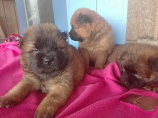 Cachorros Chowchow