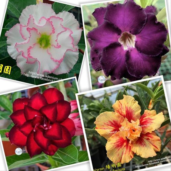 Adenium Obesum 22 Sementes Raras Rosa Do Deserto