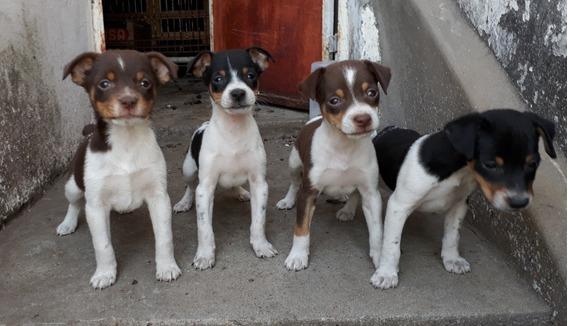 Fox Terrier Argentino. Ratoneros Cachorros Machos Y Hembras