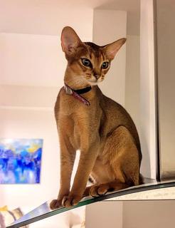 Gatito Abisinio Criadero Nefertiti