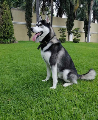 Husky Cruza (macho) $1