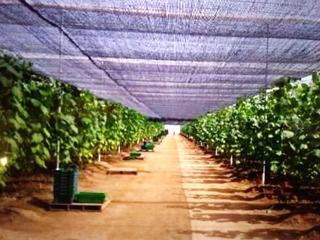 Planta De Vid (uva)