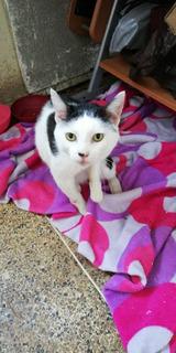Gatos En Adopción, Espiguita, Puriel Y Otros Buscan Hogar