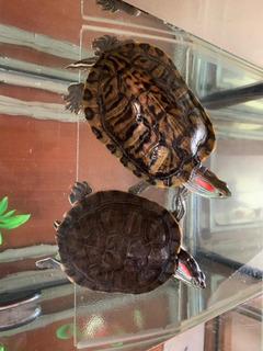 Se Regalan Tortugas Orejas Rojas
