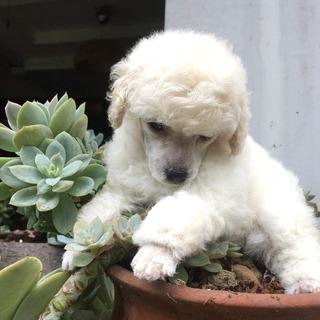 Auténticos Cachorritos Poodle Miniaturas A-1, Padres Pedigri