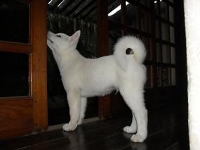 Akita Inu Japonês Puros Lindos Filhotes Brancos