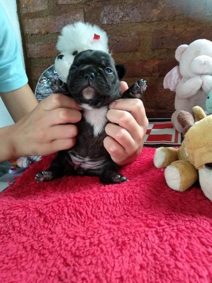 Bulldog Frances Excelentes Cachorros Pedigree