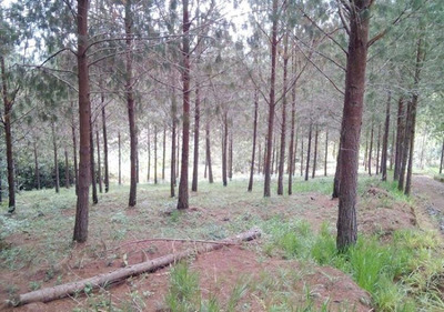 Finca De 90 Ha Cultivada En Pino - Curiti (sder)