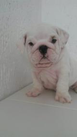 Bulldog Inglês Fêmea Branca