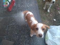 Cachorro Beagle