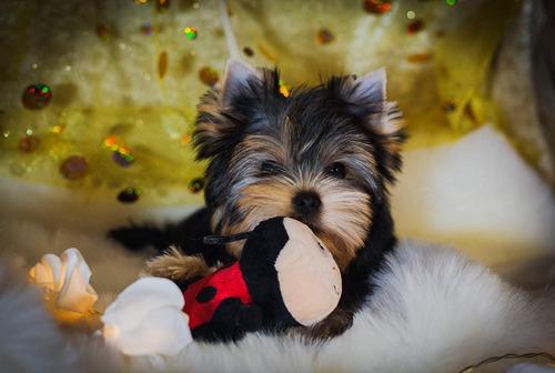 Imagen 1 de 4 de Yorkshire Terrier Macho Sangre Russa 100%