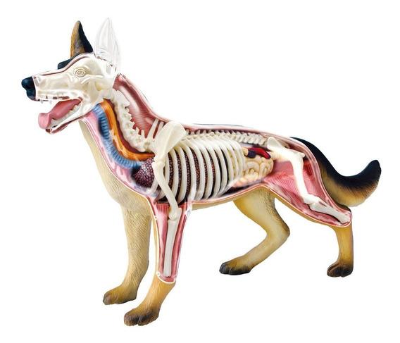 Modelo De Anatomia 4d Para Ensino Veterinário - Cachorro