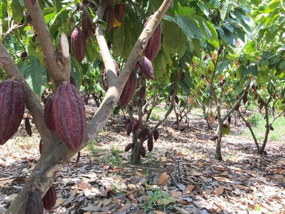 Finca Cacaotera 60ha Vía La Costa Por Limoncito Agua Y Luz