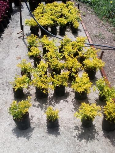 Plantas Garbancillos