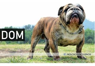 Semental Montas Bulldog Ingles Calidad Premium