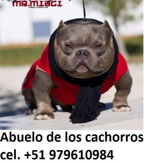 American Bully Exotic Cachorros