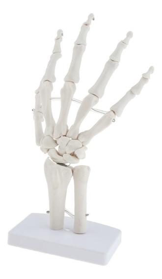Modelo Anatómico Esquelético Articulación De Mano
